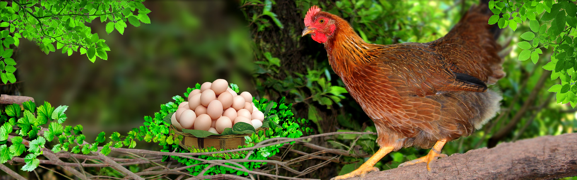 生态养殖土鸡